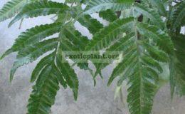 Bolbitis-sp.T01fertile-leaf