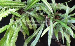 Bolbitis-sp.narrow-leaf-СПРАВА-