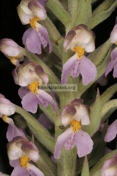 Brachycortthis-henryi
