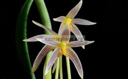 Bulbophyllum-affine