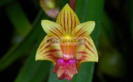 Bulbophyllum-capillipes