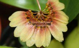 Bulbophyllum-cumingii2