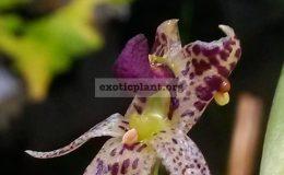 Bulbophyllum-ecornutum