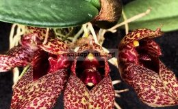 Bulbophyllum-frostii
