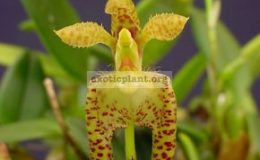 Bulbophyllum-lasiochilum