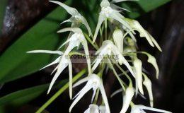 Bulbophyllum-laxiflorum