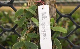 Bulbophyllum-pachypus