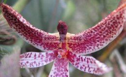 Bulbophyllum-patens