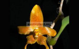 Bulbophyllum-piestoglossum