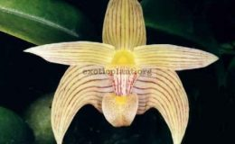 Bulbophyllum-siamense