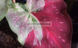 Caladium-Absorn-Sawanwhite-leaf-with-red-splash-20