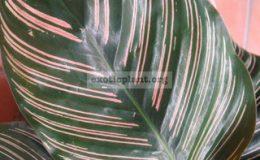 Calathea-Sanderiana-20-