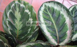 Calathea-lindenianaслева-rosea-picta-Illustrisсправа