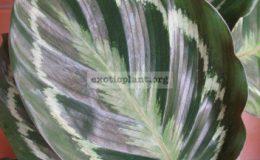 Calathea-lindeniana-20