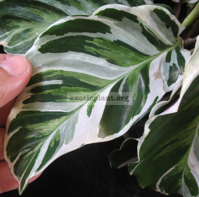 Calathea louisiae  White Tiger  23