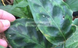 Calathea-pseudoveitchiana-20