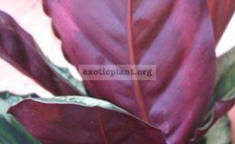 Calathea-rosea-picta-Illustris-25-