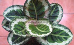 Calathea-rosea-picta-Illustris-25