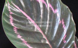 Calathea-roseopicta-20-