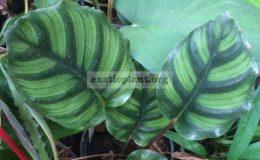 Calathea-rotundifolia-20