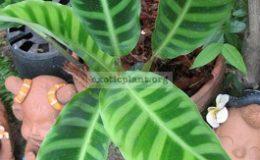Calathea-zebrina-Humilior-25