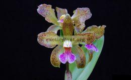 Cattleya-granulosa