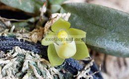 Chroniochilus-virescens-