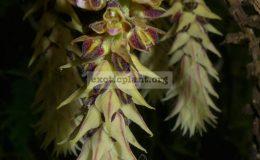 Cleisomeria-pilosulum