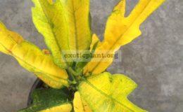 Codiaeum-Golden-Arrow-25