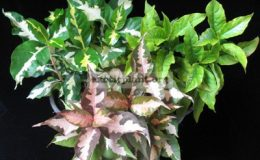 Codiaeum-Jamaica-Tricolor-Group