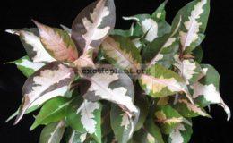 Codiaeum-Jamaica-Tricolor-Rubra-12