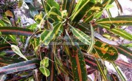 Codiaeum-Mothers-Daughters-variegatum-16