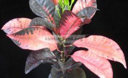 Codiaeum-Mrs-Iceton-red-20