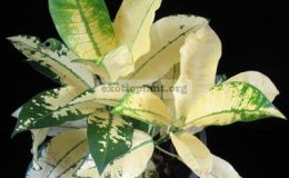 Codiaeum-Mrs.-Iceton-yellow-20
