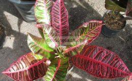 Codiaeum-Pattaya-Pink-20
