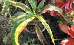 Codiaeum-Rainbow-long-leaf-30