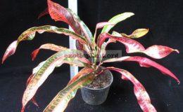 Codiaeum-T27-Very-narrow-leaf-очень-узкие-листья-20
