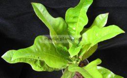 Codiaeum-T29-Green-young-leaf-and-black-mature-leaf-зеленые-молодые-и-черные-взрослые-листья-20