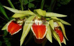 Coelogyne-eberhardtii