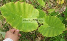 Colocasia-gigantea-20