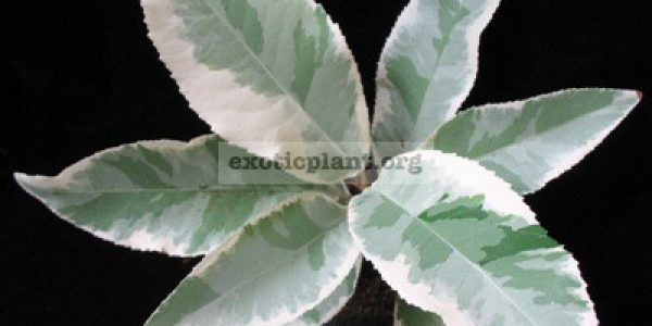 Croton-sp-T01-big-leaf-albomarginata-55-1