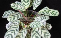 Ctenanthe-burle-marxii-silver-leaf-20-1-1