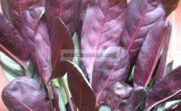 Ctenanthe-burle-marxii-silver-leaf-20-1-2