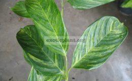 Ctenanthe-lubbersiana-variegated-24