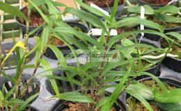 Dendrobium-auriculatum