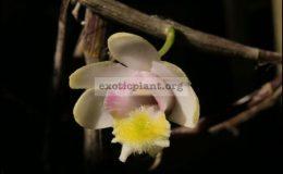 Dendrobium-chittimae