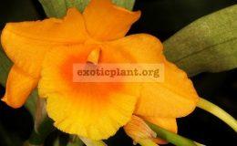 Dendrobium-chryseum