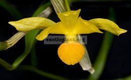 Dendrobium-chrysocrepis