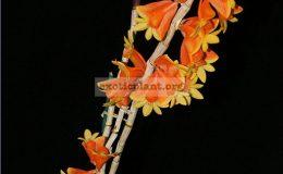 Dendrobium-chrysopterum