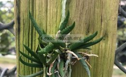 Dendrobium-cucumerinum